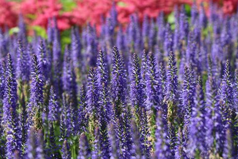 Scheinähriger Ehrenpreis 'Royal Candles Glory' - Veronica spicata 'Royal Candles Glory'