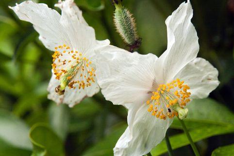 Scheinmohn 'Alba' - Meconopsis betonicifolia 'Alba'