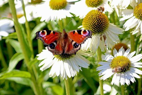 Scheinsonnenhut 'Avalanche' ® - Echinacea purpurea 'Avalanche' ®