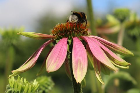 Scheinsonnenhut 'Green Envy' ® - Echinacea purpurea 'Green Envy' ®
