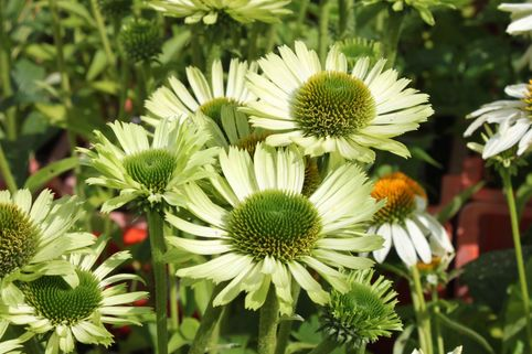 Scheinsonnenhut 'Green Jewel' - Echinacea purpurea 'Green Jewel'