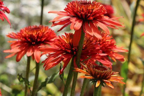 Scheinsonnenhut 'Irresistible' - Echinacea purpurea 'Irresistible'
