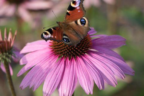Scheinsonnenhut 'Mistral'® - Echinacea purpurea 'Mistral' ®