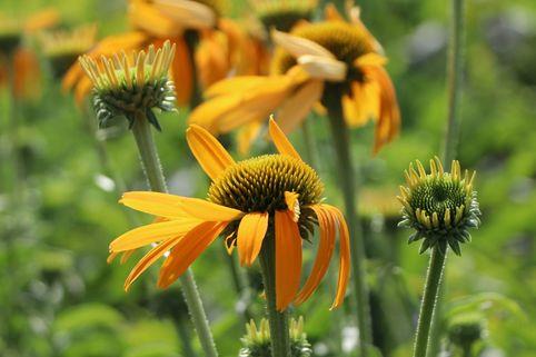 Scheinsonnenhut 'Now Cheesier' - Echinacea purpurea 'Now Cheesier'
