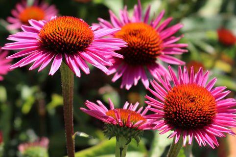 Scheinsonnenhut 'Pica Bella' ® - Echinacea purpurea 'Pica Bella' ®