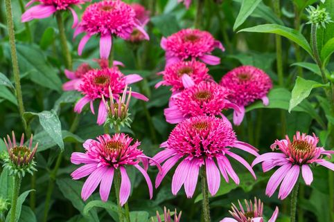 Scheinsonnenhut 'Pink Double Delight' - Echinacea purpurea 'Pink Double Delight'