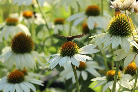 Scheinsonnenhut 'PowWow White' - Echinacea purpurea 'PowWow White'