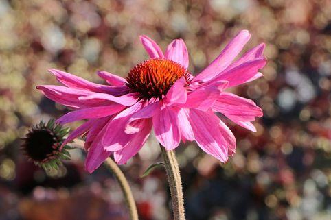 Scheinsonnenhut 'Prairie Splendor'  ® - Echinacea purpurea 'Prairie Splendor'  ®