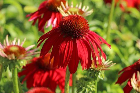 Scheinsonnenhut 'Salsa Red' ® - Echinacea purpurea 'Sombrero Salsa Red'  ®