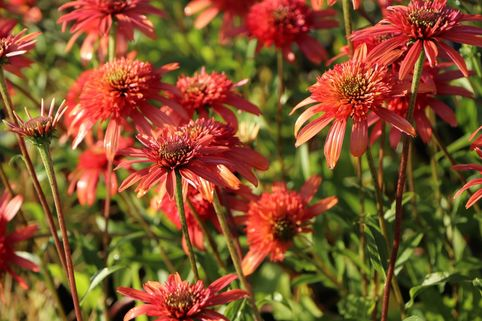 Scheinsonnenhut 'Secret Passion' - Echinacea purpurea 'Secret Passion'