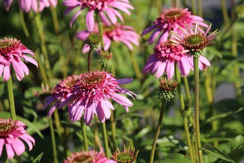 Scheinsonnenhut 'Secret Romance' - Echinacea purpurea 'Secret Romance'