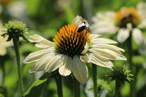 Scheinsonnenhut 'Sunrise' ® - Echinacea purpurea 'Sunrise'  ®