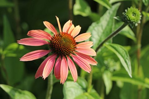 Scheinsonnenhut 'Tangerine Dream' ® - Echinacea purpurea 'Tangerine Dream' ®