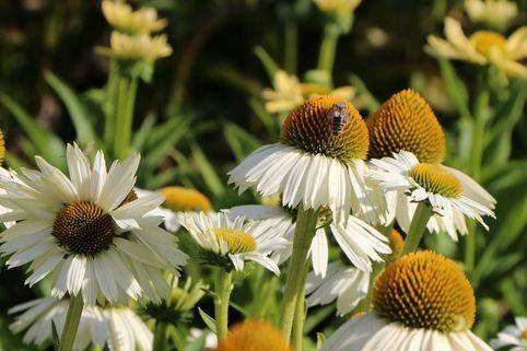 Scheinsonnenhut 'White Meditation' - Echinacea purpurea 'White Meditation'