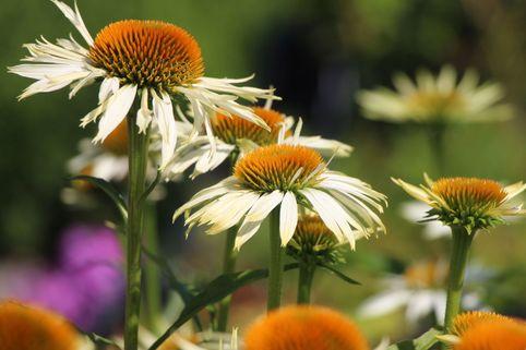 Scheinsonnenhut 'White Mist' - Echinacea purpurea 'White Mist'