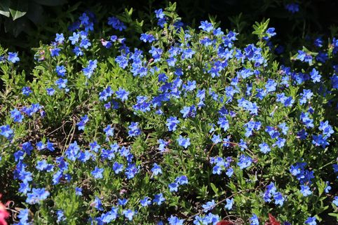 Scheinsteinsame 'Grace Ward' - Lithodora diffusa 'Grace Ward'