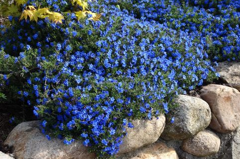 Schein-Steinsame 'Heavenly Blue' - Lithodora diffusa 'Heavenly Blue'