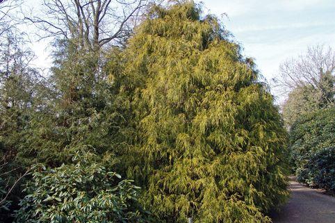 Scheinzypresse / Sawara- Scheinzypresse / Gelbe Fadenzypresse - Chamaecyparis pisifera 'Filifera Aurea'