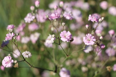 Rispiges Schleierkraut 'Festival Pink' - Gypsophila paniculata 'Festival Pink'