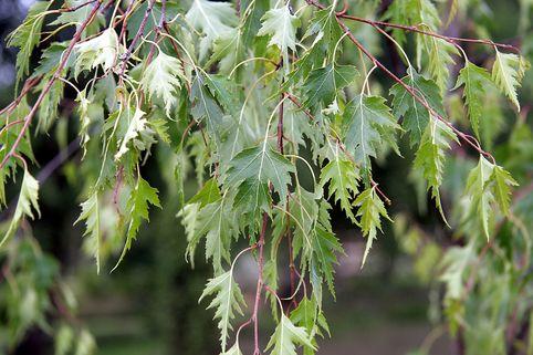 Schlitzblättrige Birke / Ornäs-Birke - Betula pendula 'Dalecarlica'