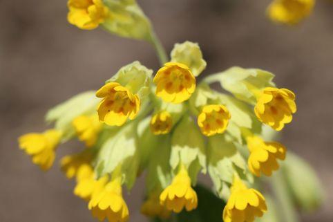 Echte Schlüsselblume 'Cabrillo' - Primula veris 'Cabrillo'