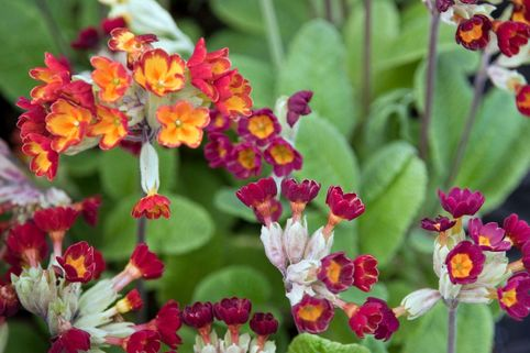 Schlüsselblume 'Sunset Shades' - Primula veris 'Sunset Shades'