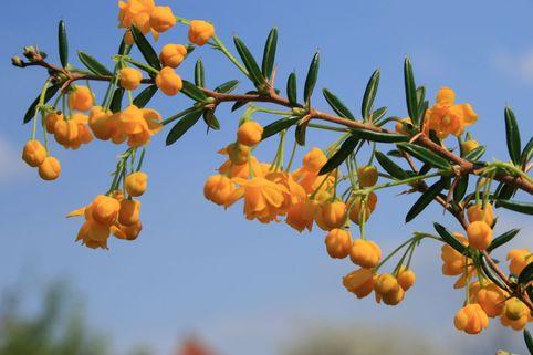 Schmalblättrige Berberitze / Dotterberberitze - Berberis stenophylla