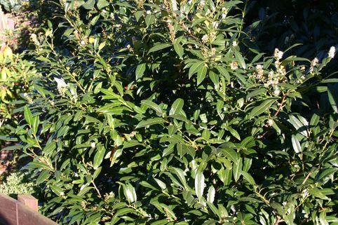 Schmalblättriger Kirschlorbeer 'Zabeliana' - Prunus laurocerasus 'Zabeliana'