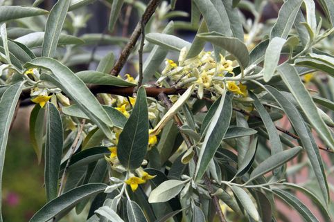 Schmalblättrige Ölweide - Elaeagnus angustifolia