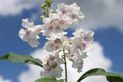 Schmalblättriger Trompetenbaum / Baumoleander - Chitalpa tashkentensis