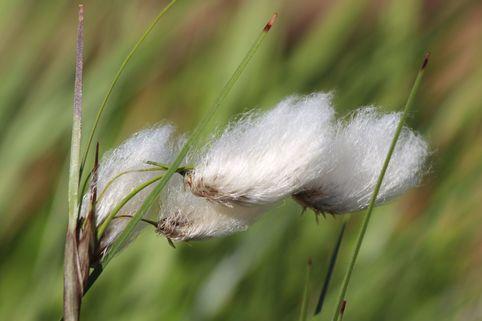 Schmalblättriges Wollgras - Eriophorum angustifolium