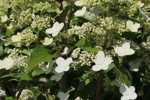 Schmetterlings-Hortensie 'Butterfly' ® - Hydrangea paniculata 'Butterfly' ®