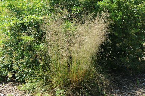 Schmiele 'Bronzeschleier' - Deschampsia cespitosa 'Bronzeschleier'