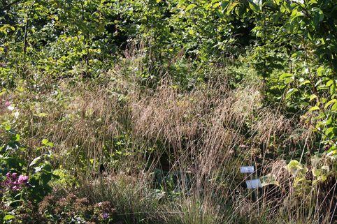 Schmiele 'Schottland' - Deschampsia cespitosa 'Schottland'