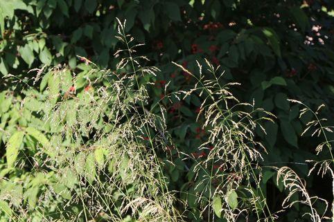 Schmiele 'Tauträger' - Deschampsia cespitosa 'Tauträger'