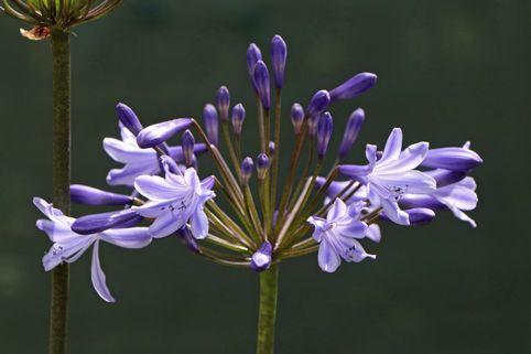 Schmucklilie 'Blue Triumphator' - Agapanthus africanus 'Blue Triumphator'