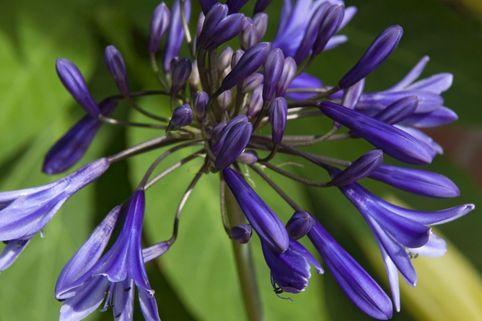 Schmucklilie 'Navy Blue' - Agapanthus africanus 'Navy Blue'