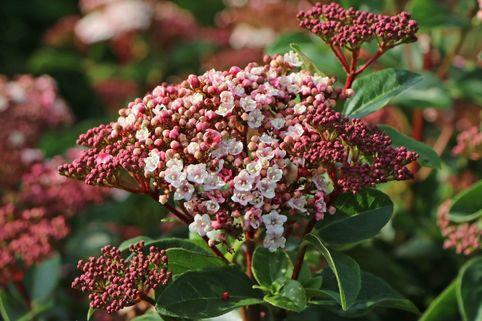 Schneeball 'Lisarose' ® - Viburnum tinus 'Lisarose' ®