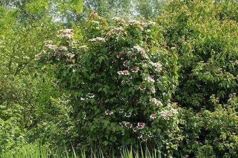 Schneeball 'Onondaga' - Viburnum sargentii 'Onondaga'
