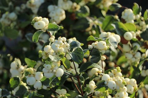 Schneebeere 'White Hedge' - Symphoricarpos doorenbosii 'White Hedge'