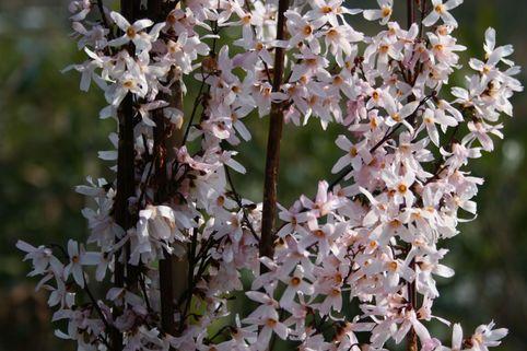 Schneeforsythie - Abeliophyllum distichum