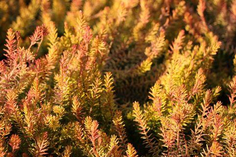 Schneeheide 'Westwood Yellow' - Erica carnea 'Westwood Yellow'