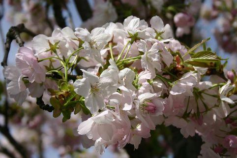 Schneekirsche / Winterkirsche / Japanische Blütenkirsche 'Autumnalis' - Prunus subhirtella 'Autumnalis'