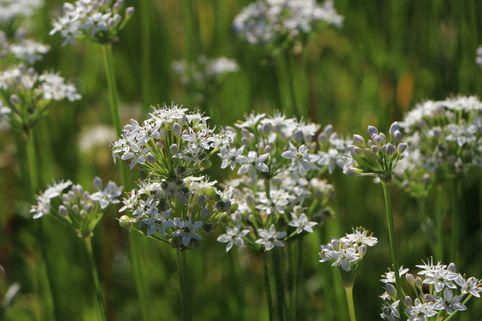 Schnitt-Knoblauch / Knoblauch-Schnittlauch - Allium tuberosum