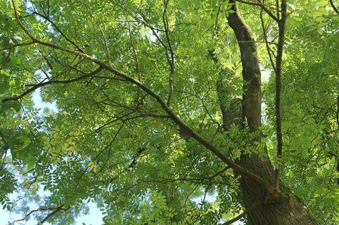 Schnurbaum - Styphnolobium japonicum / Sophora japonica