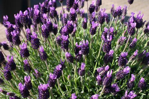 Schopf Lavendel - Lavandula stoechas
