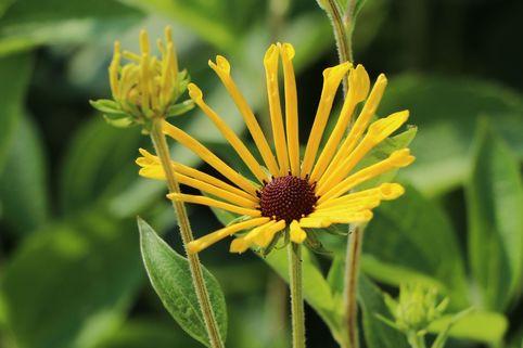 Schwachfilziger Sonnenhut 'Henry Eilers' - Rudbeckia subtomentosa 'Henry Eilers'