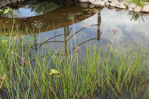 Schwanenblume / Blumenbinse - Butomus umbellatus