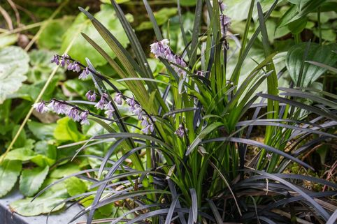 Schwarzblättriger Schlangenbart 'Niger' - Ophiopogon planiscapus 'Niger'