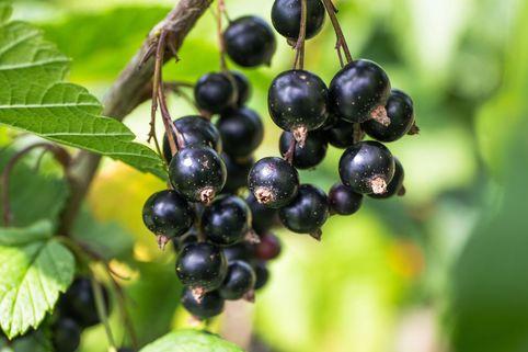 Schwarze Johannisbeere 'Ben Alder' - Ribes nigrum 'Ben Alder'